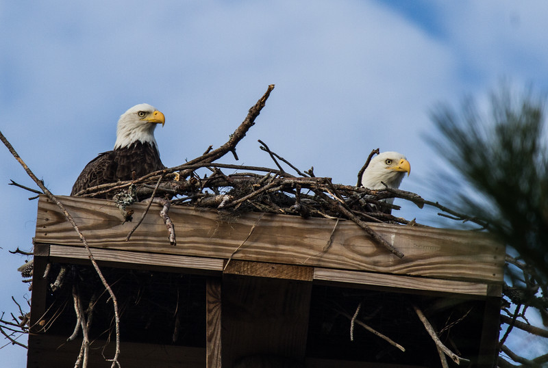 Bald Eagles back on platform