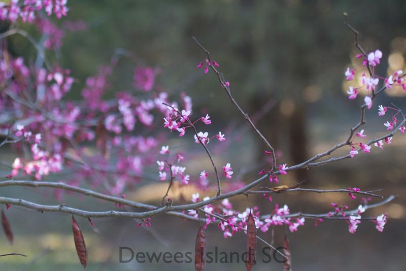 eastern redbud