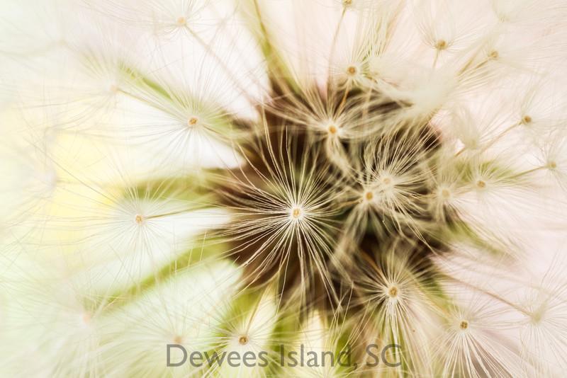 spring wildflower: dandelion