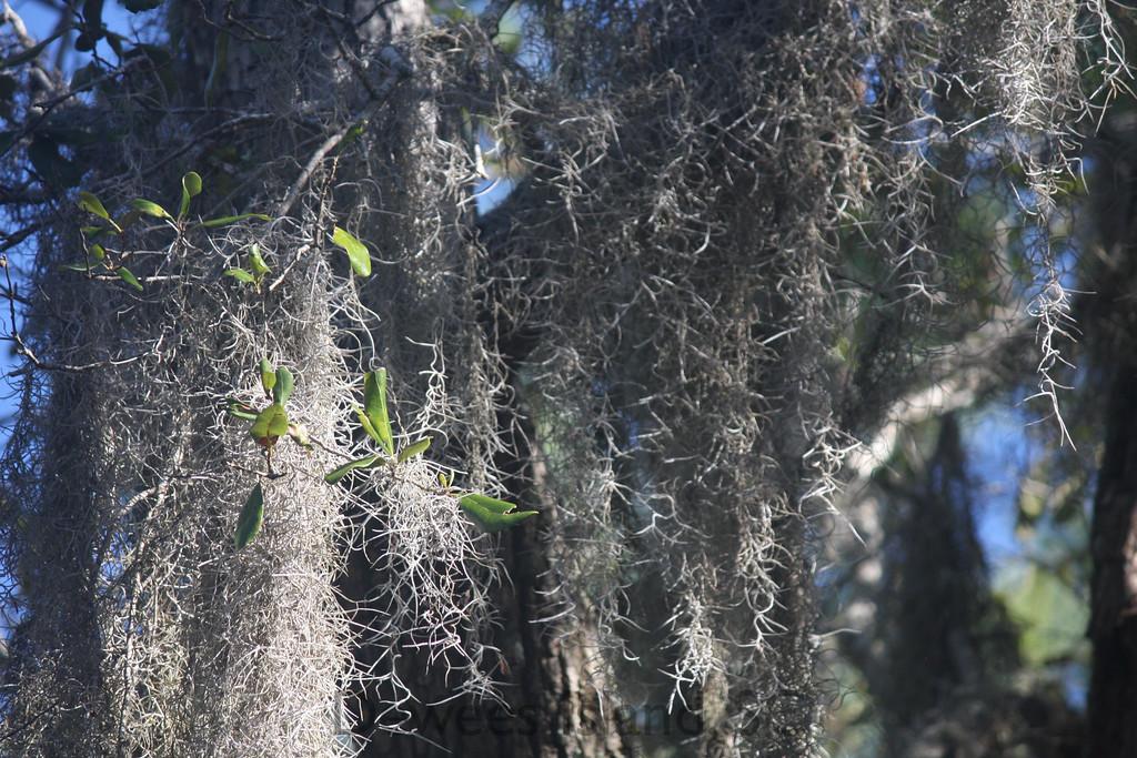 Dewees Island spanish moss