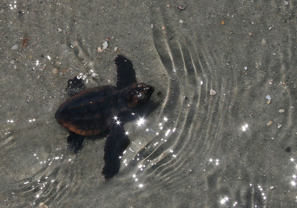 The thrill of watching a baby turtle reach the surf.