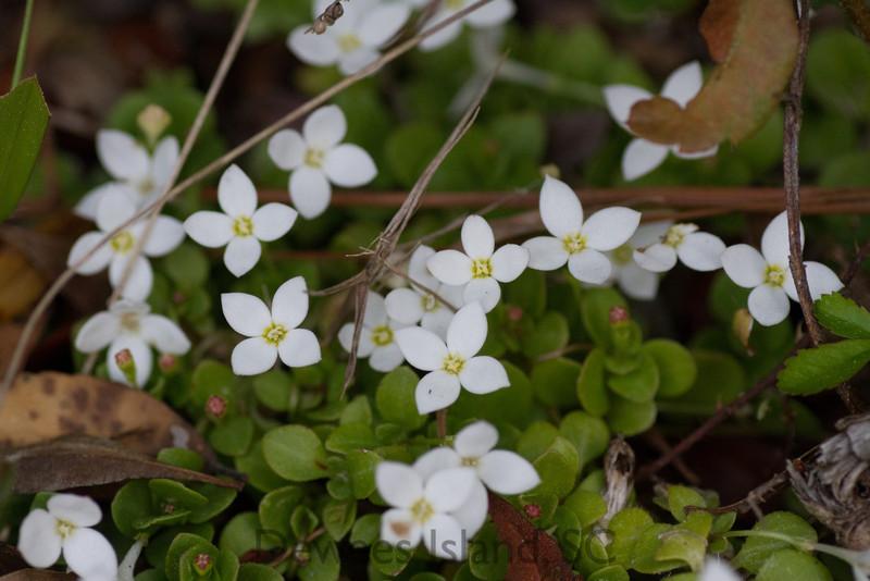 spring wildflower sc: trailing bluet