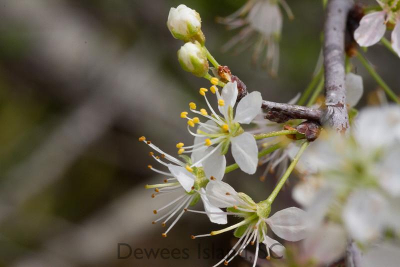spring wildflower: wild plum