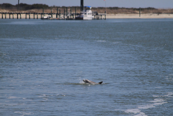 Playful dolphins often escort the ferry to the island.